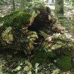 Fallen tree trunk beside carriage road