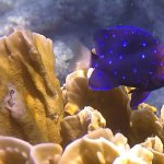 Yellowtail Damselfish. (The tails of the juveniles are often clear or white.)