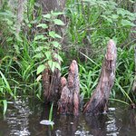 Cajun Encounters-Honey Island Swamp Cypress Knees