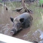 Cajun Encounters-Honey Island Swamp Feral Pig