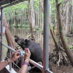 Cajun Encounters-Honey Island Swamp Feral Pig Feeding Time