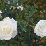 Lovely roses in the Church garden