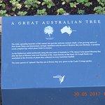 Info on the Great Australian tree inside Fitzroy Gardens !