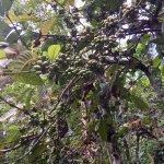 Деревья кофе с плодами по дороге к водопаду