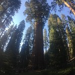 General Sherman and Sequoia forest