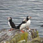 Puffins are one of the biggest attractions of the Isle of May.