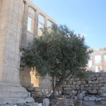 Olive Tree at Erechtheion
