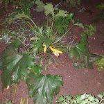 La fleur de courgette !