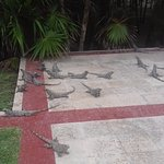 Iguanas by the pool- safe