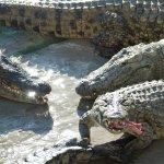 Fütterung der Nilkrokodiele