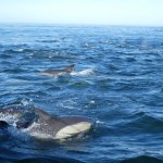 Dolphins on way to shark dive site