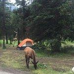 Wapiti frequent the Wapiti Campground!