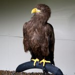 Sima Female White Tailed Eagle. 8 foot wing span.