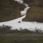 A bear traversing the hill