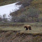 then the bear came down on the tundra