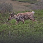 Another young caribou