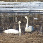 A mated pair of Trumpeter Swans hang out on a lake in the Spring time.