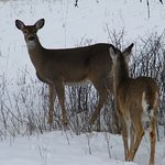 We saw these 2 deer at Whitefish State park close to the lodge