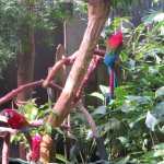 The macaws