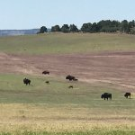 Bison's roaming the fenced Ranch