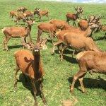 Photo de Red Deer at Rolling Hills Farm
