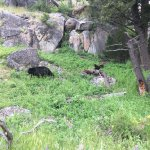 Bear and her cubs at Yellowstone