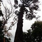 huge Monterey Pine