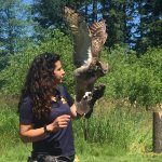 The Great Horned Owl during the flight demonstration