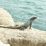 Iguana posando.