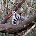 Ring tailed lemurs at Monkeyland
