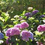 hortensias dans le jardin