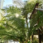 Tree ferns in the garden