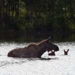 MOther moose and 2 calves in the lake