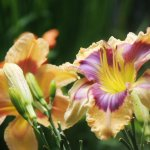 Day Lilies in our gardens