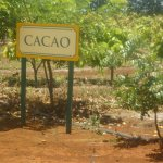 Cacao plants see on train ride.