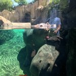 Hippos- Fiona's parents- one facing us, one having her hind end toward us under water