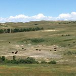 Bison herd near the end of the Scenic Drive