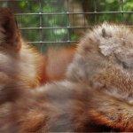 Red fox - Quogue Wildlife Refuge Rehabiliation Area 5-30-17