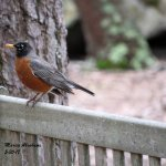 Quogue Wildlife Refuge - American Robin 5-30-17