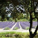 Lavendelvelden in de omgeving