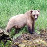 Grizzly bear in the Khutzeymateen sanctuary