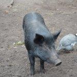 Pig at Halls Gap Zoo.