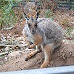 Wallaby at Halls Gap Zoo.
