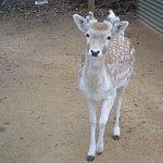 Deer at Halls Gap Zoo.