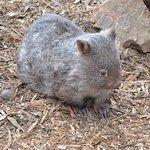 Wombat at Halls Gap Zoo.
