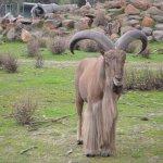 Barbary Sheep at Halls Gap Zoo.