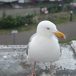 Brian seagull visits daily, but mustn't be fed!