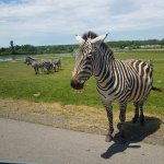 Zebra crossing..