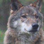 Lobo residente no Centro de Recuperação do Lobo Ibérico. Resident wolf at the IWRC.