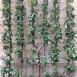Pear Tree // The Met Cloisters